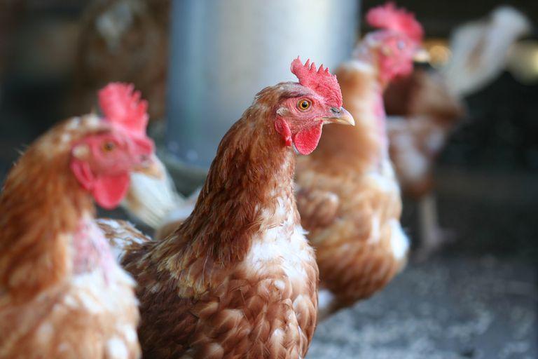 Por qué nuestros pollos y nuestras espinacas necesitan rastreadores GPS