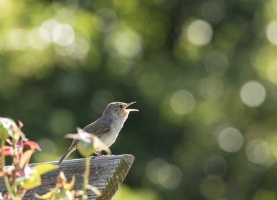 Wren Singing in the Morning