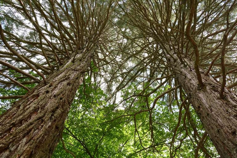 Tall trees as seen from below looking up