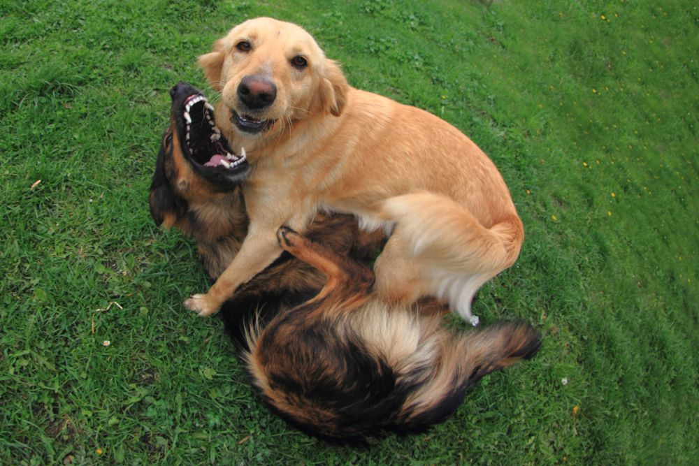 Letting your dog be pushy with people or other dogs can develop into real problem behavior.