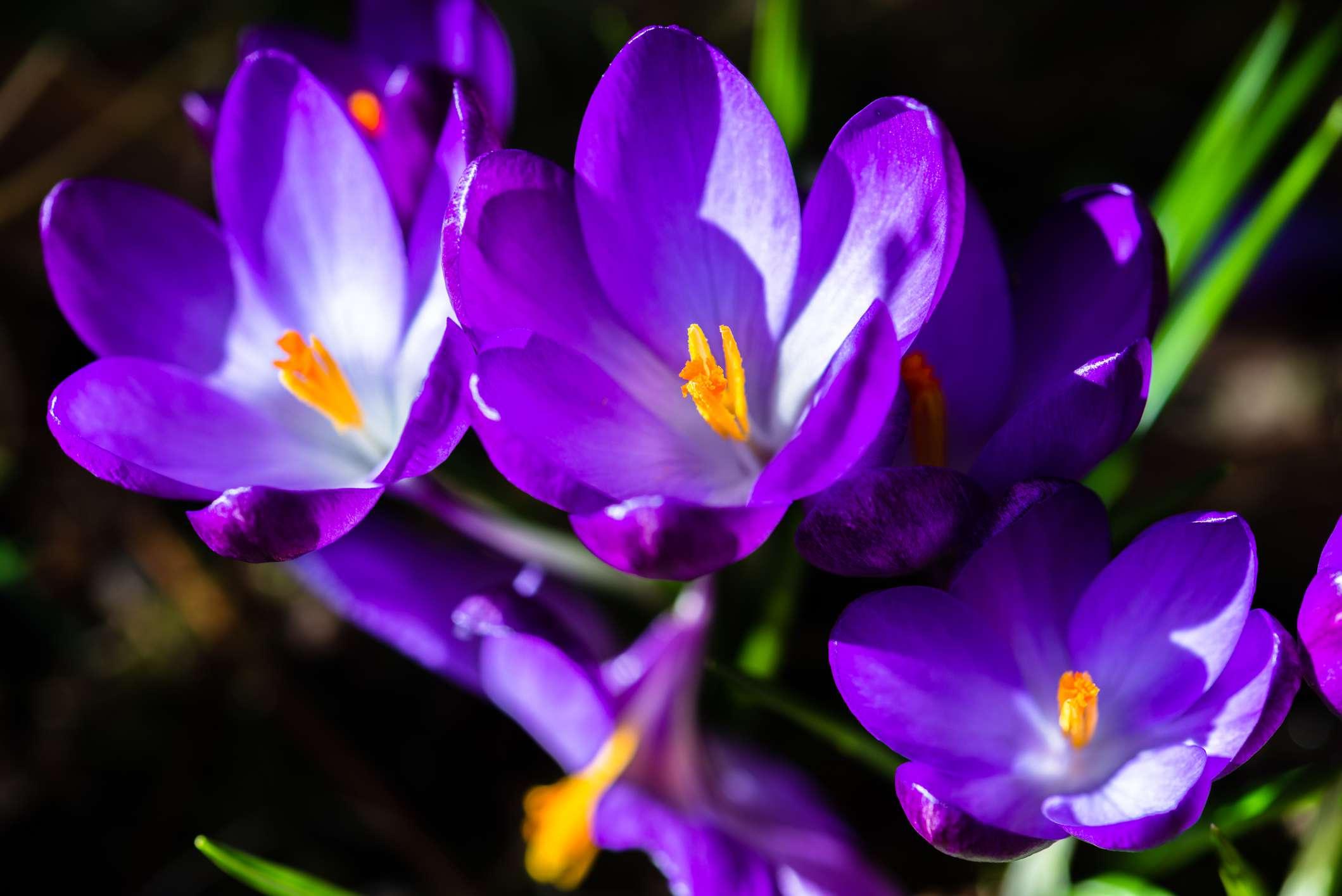 Bunch of purple flowering crocus growing in garden