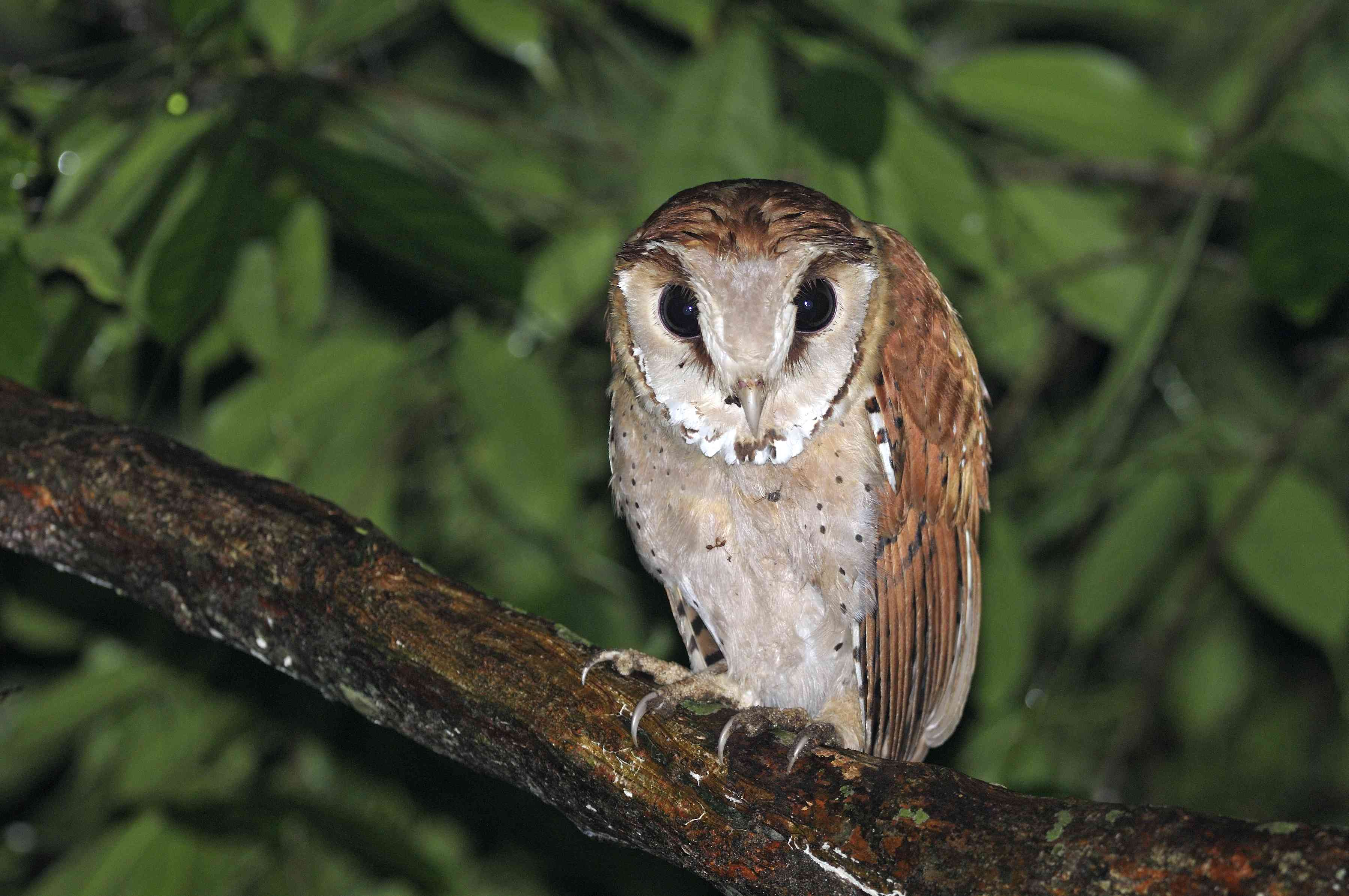Oriental bay owl on a branch in the evening