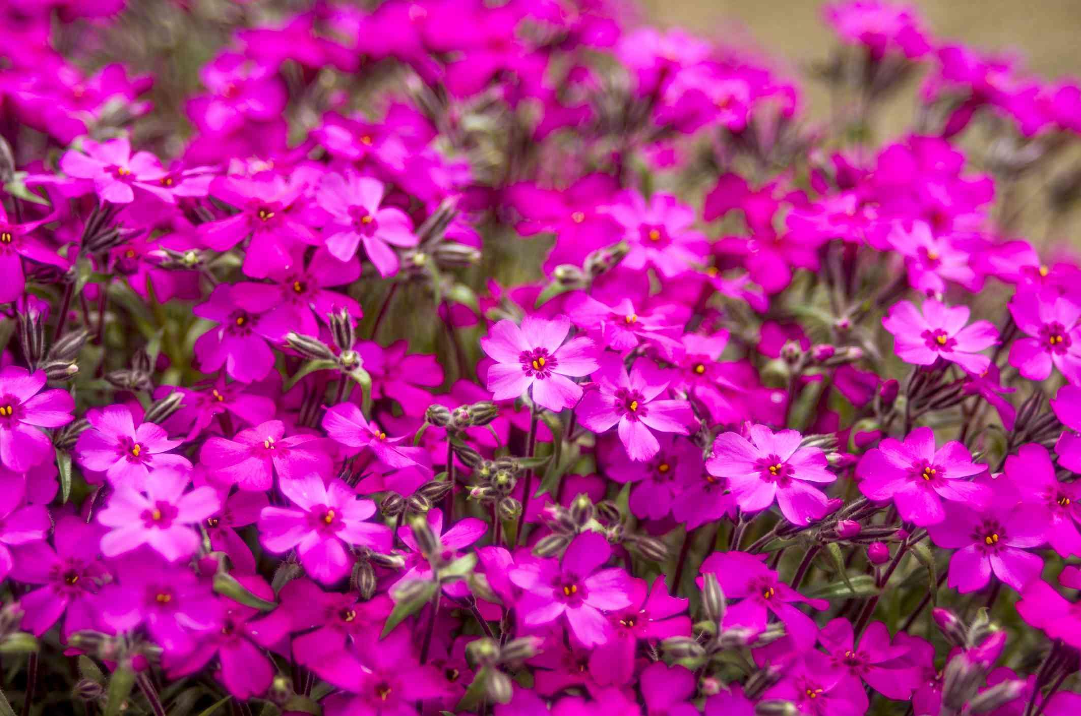 Pink moss phlox flowers