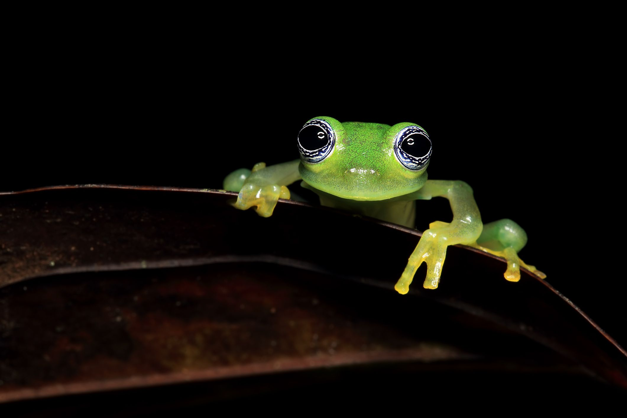 A glass frog peers over the edge of a leaf