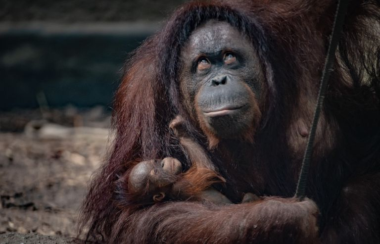 Bornean-orangutan-baby-with-mom-Chester-Zoo
