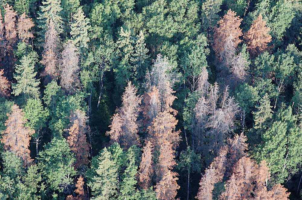 beetle killed wood