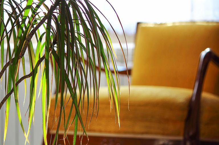 "Dracaena marginata or ""Dragon Tree"" in a classic interior"