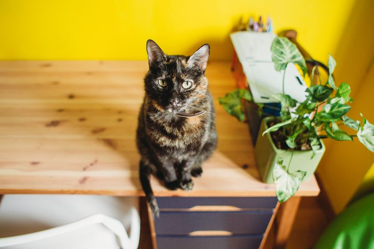 Calico cat on a desk looking at camera