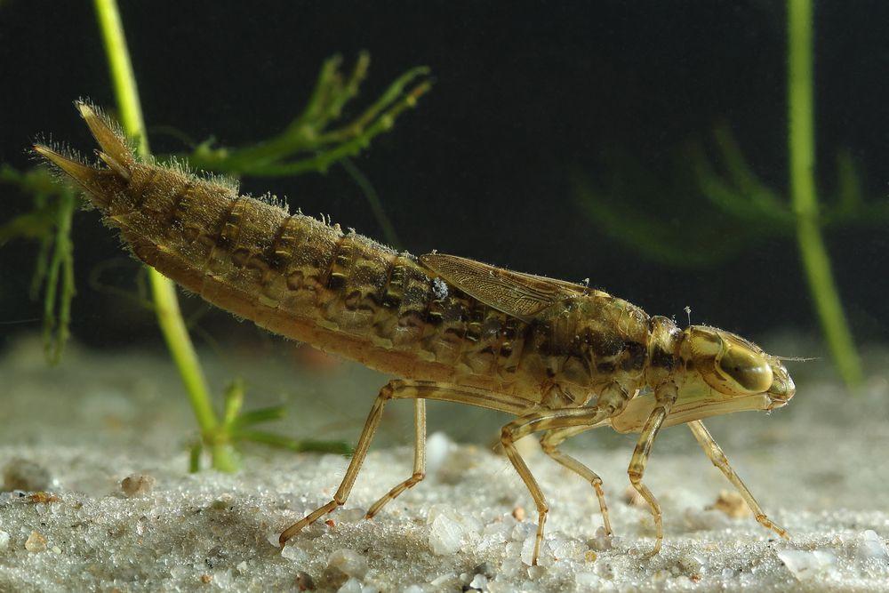 A dragonfly nymph is a ferocious underwater predator.