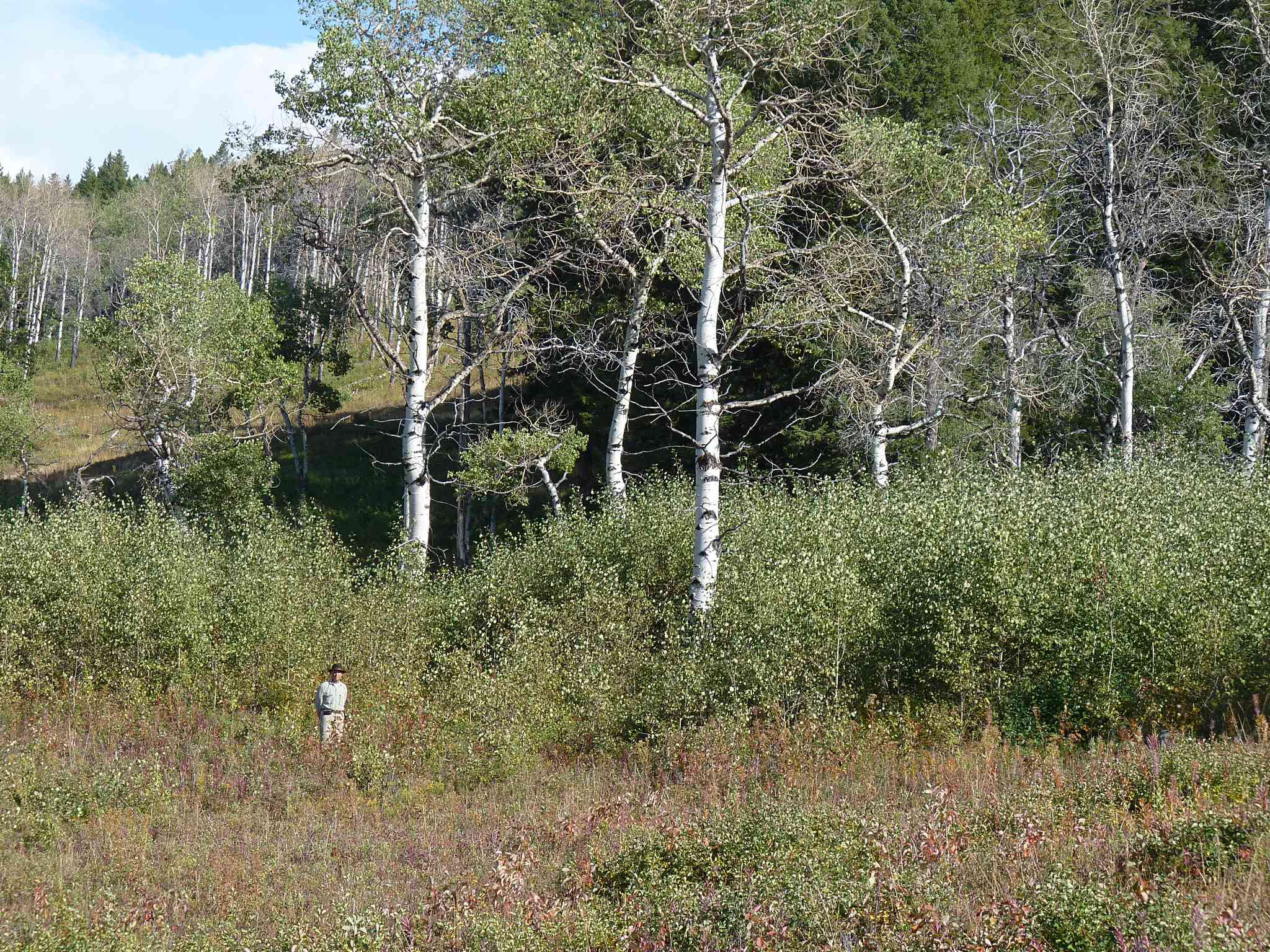 Man standing in front of young aspen trees with older trees in the background