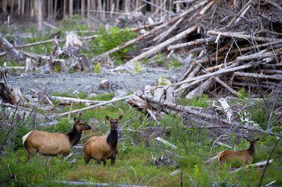 Roosevelt elk in a cut forest