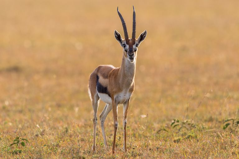 A Thomson's gazelle surveys the savanna in Talek, Kenya.