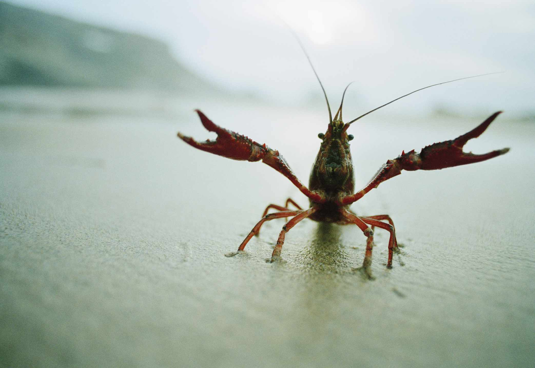 A crayfish walking on a beach with claws extended outward.