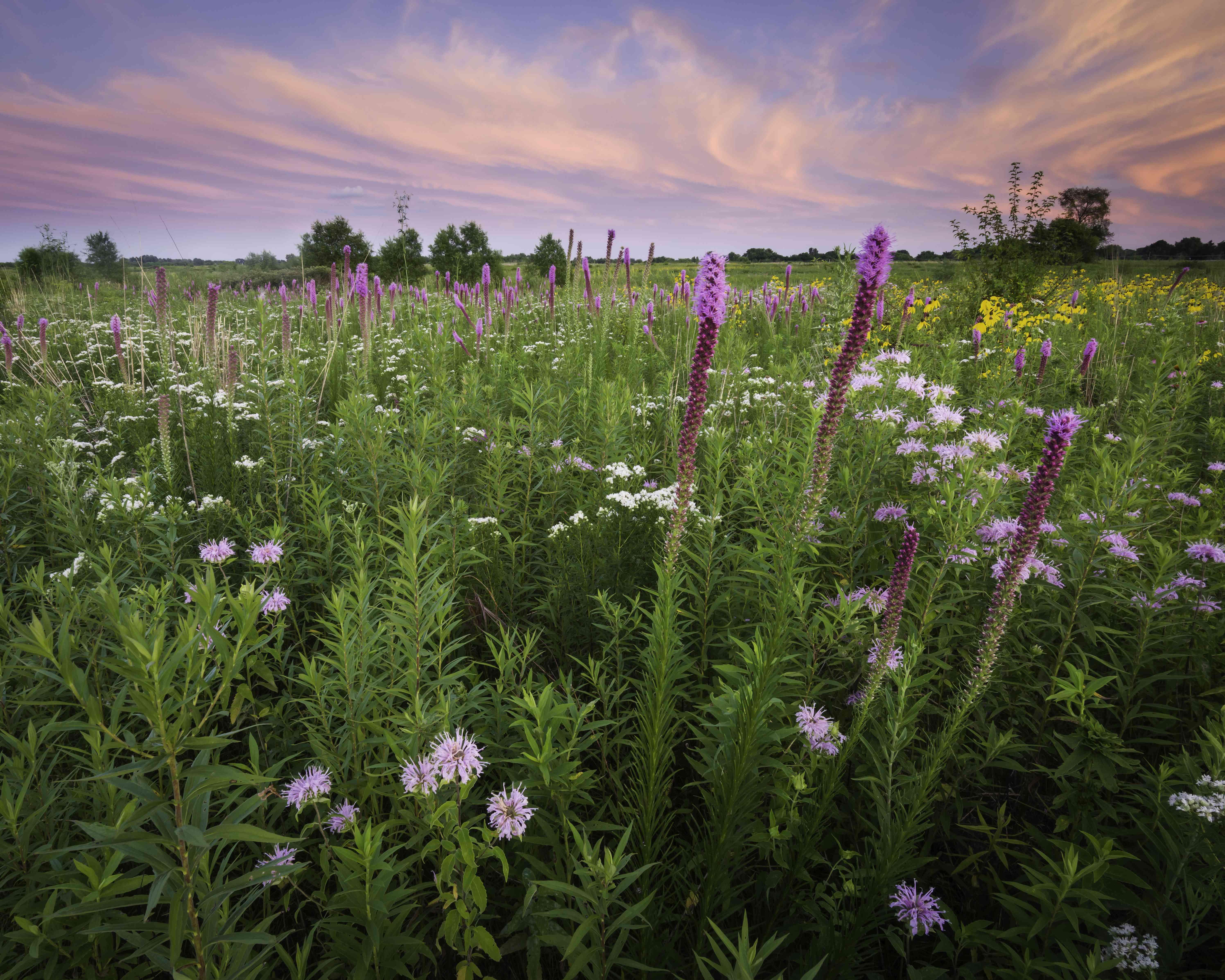 flowering meadow in Illinois