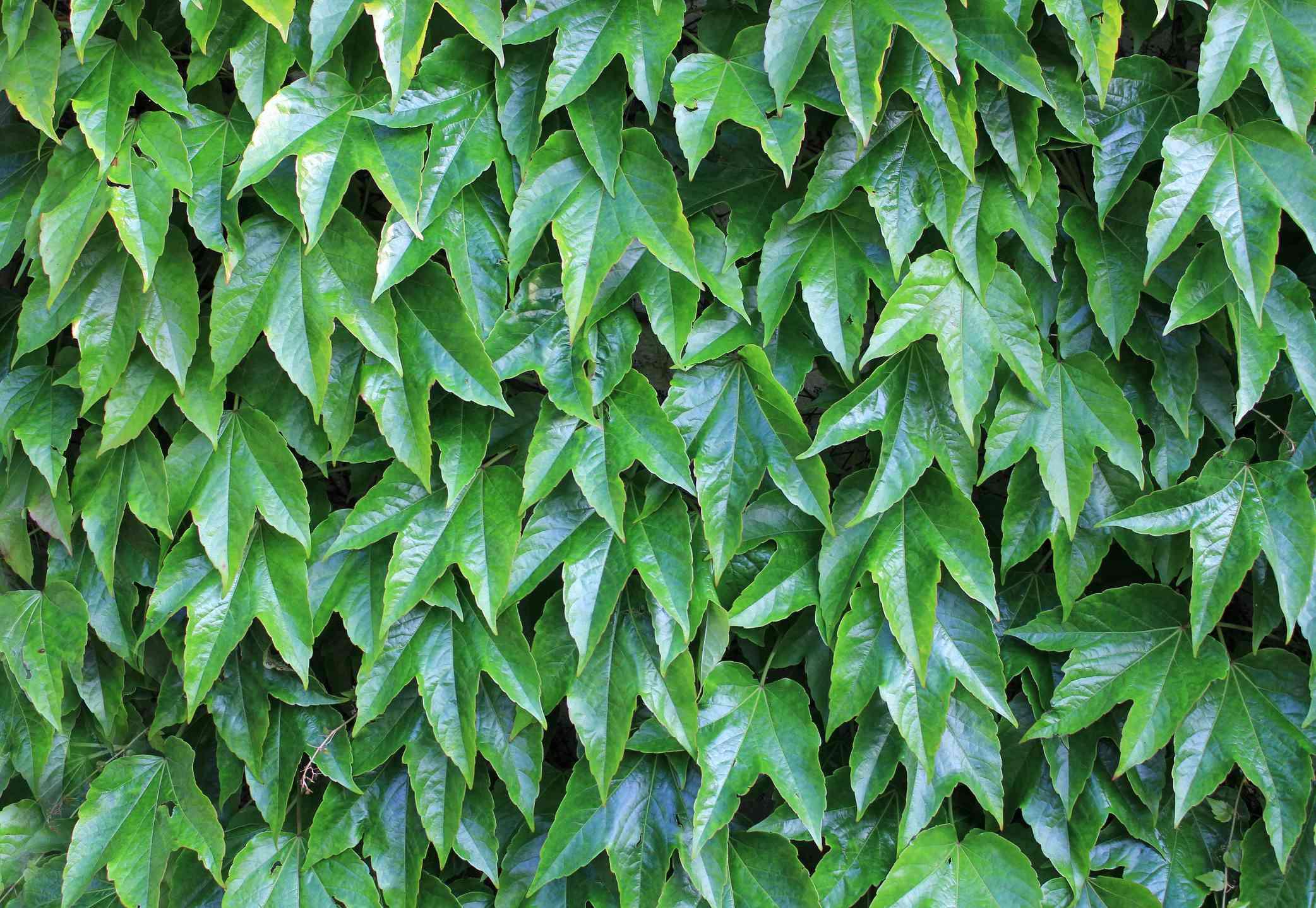 Full frame shot of Boston ivy
