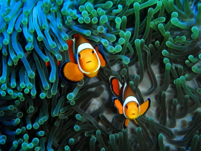 Two clownfish in Magnificent Anemone.