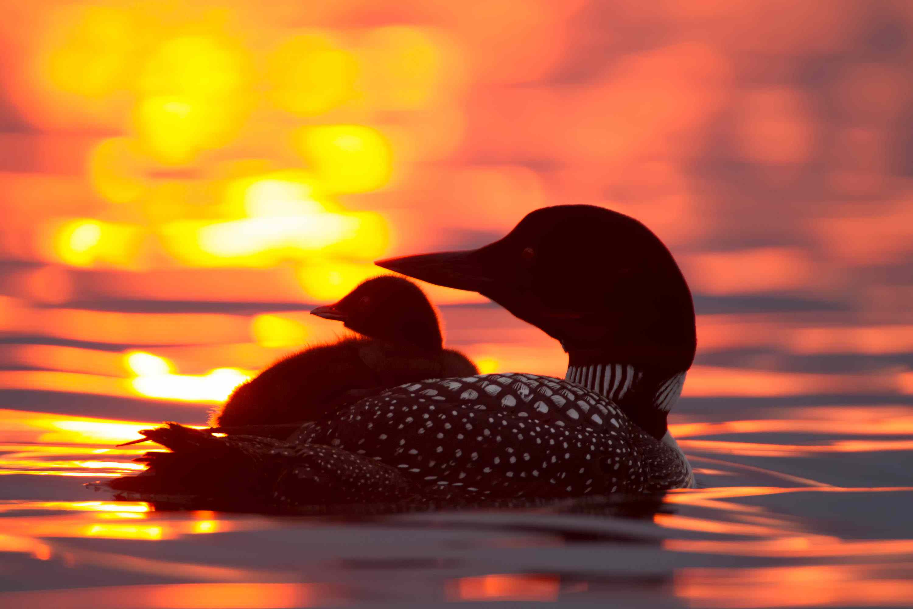 common loon, wildlife watching as meditation
