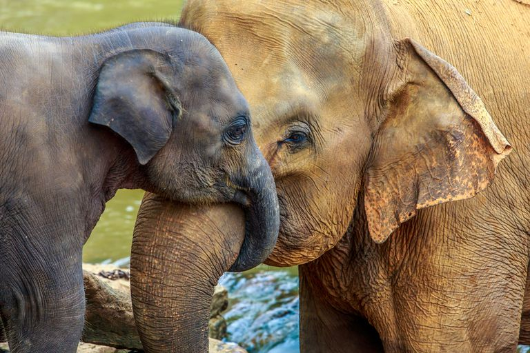 A baby elephant and an adult elephant stand with trunks wrapped around each other