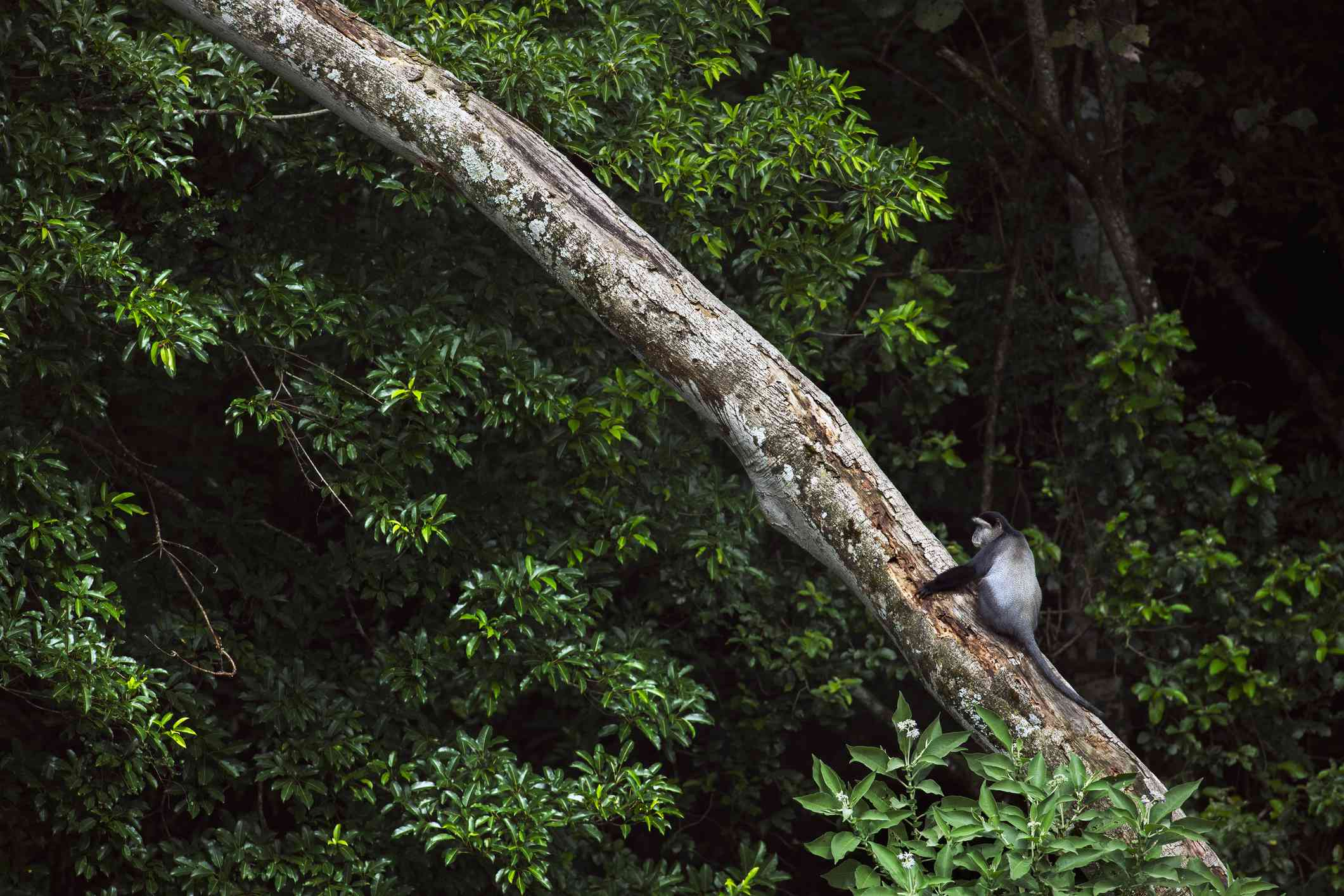 black and white monkey sitting on the trunk of a fallen tree among green foliage