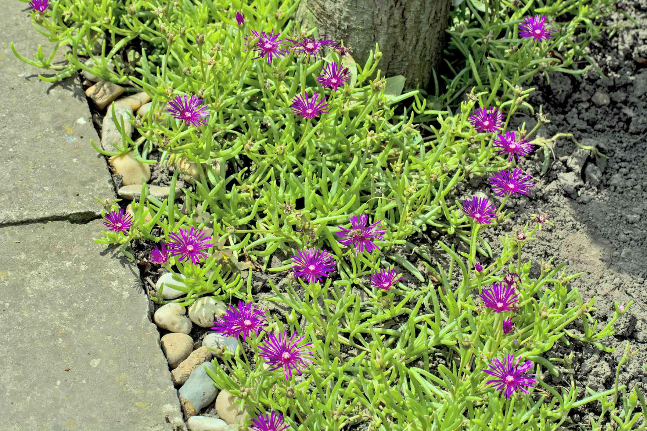 Ice flowers - Delosperma cooperi