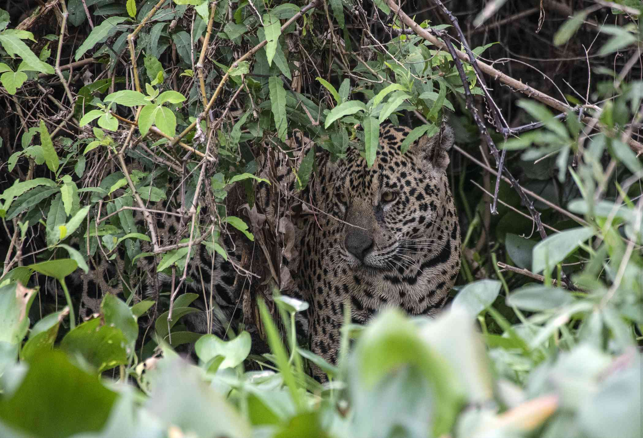 jaguar in grass peeks out from behind bush branches