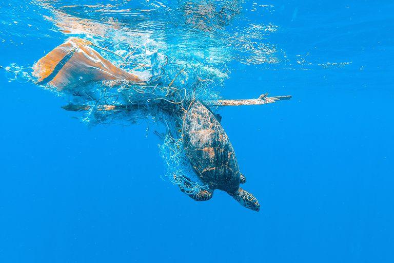 Sea turtle entangled in a net