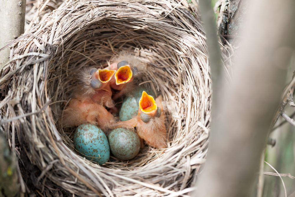 A fieldfare bird nest with baby birds and bird eggs in it
