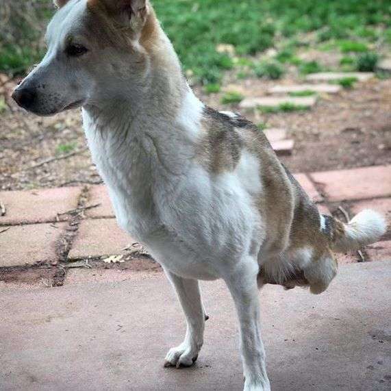 Dog missing back legs