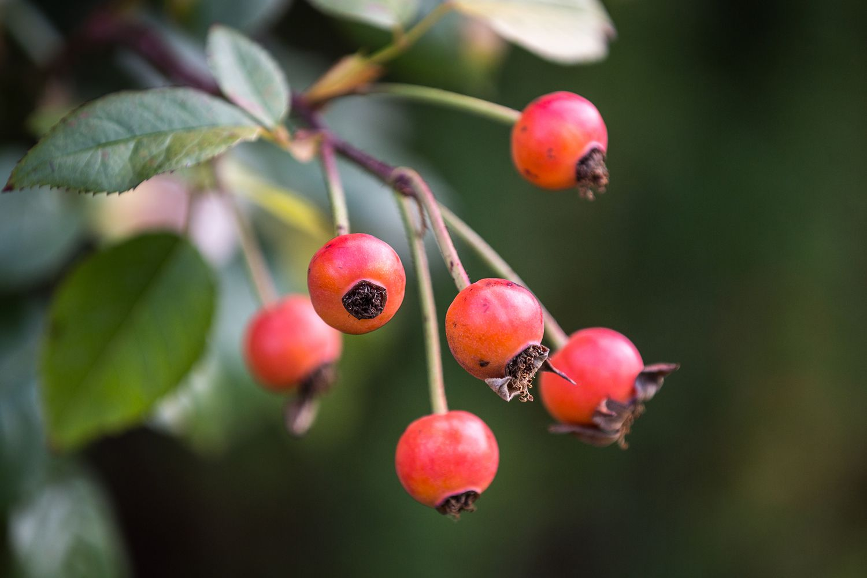 A close-up of rose hips on a rose bush.