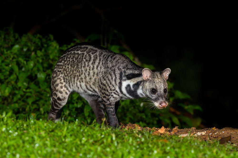 civet walking in grass at night