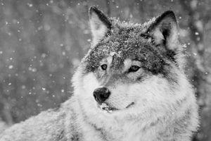 A wolf in a snowy Denmark landscape.