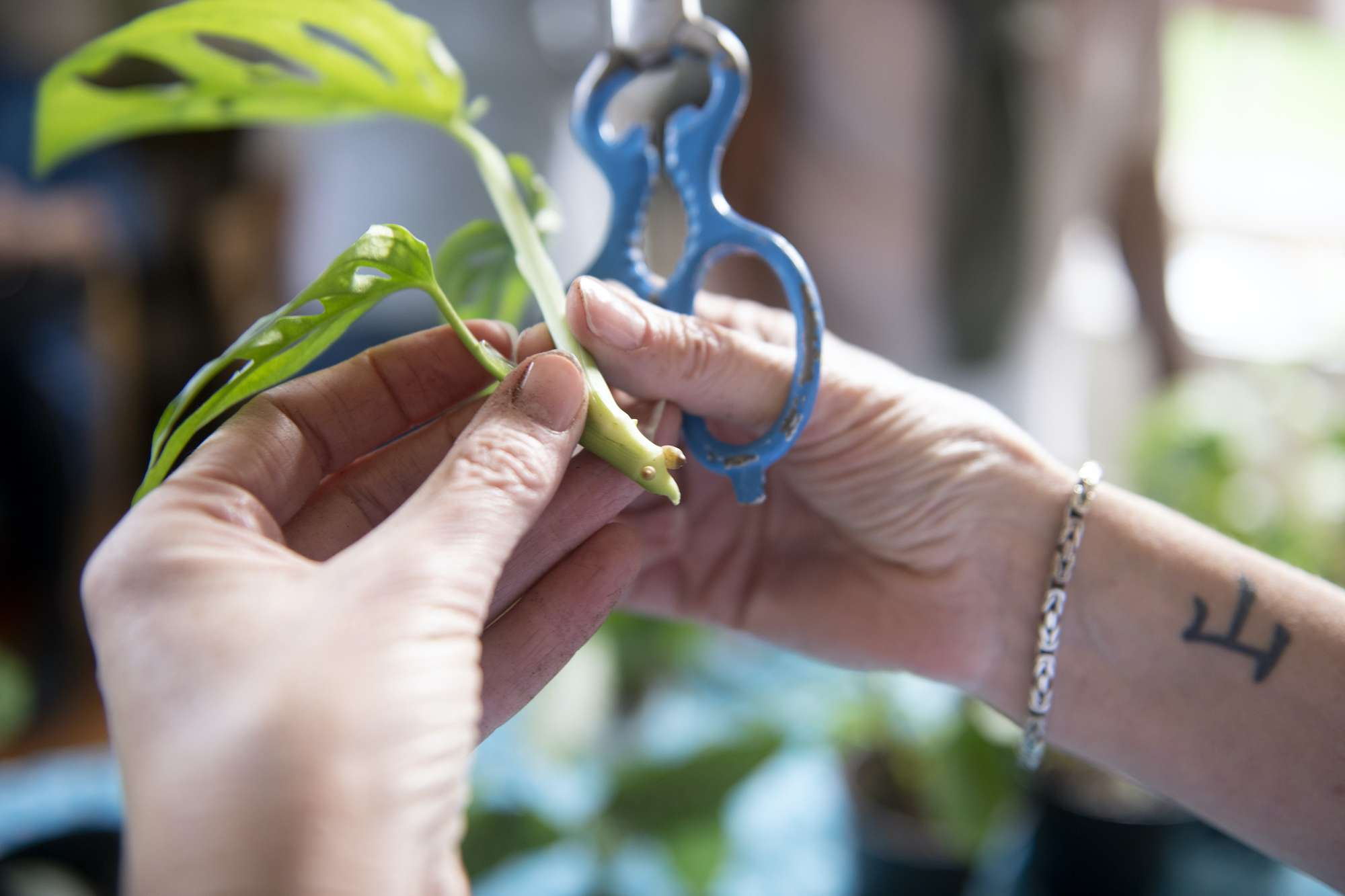taking a cutting of a monstera plant