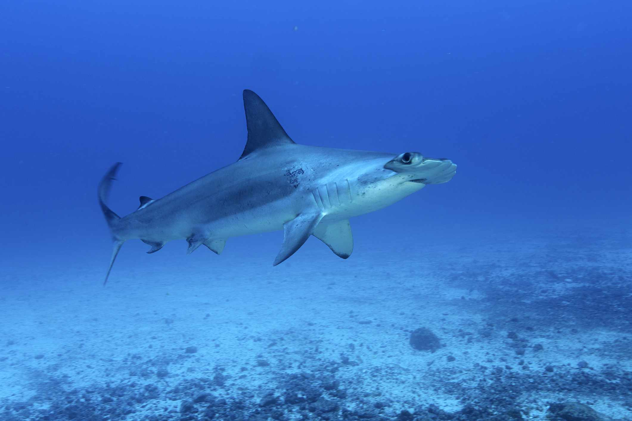 underwater profile of blue silvery scalloped hammerhead shark with big fin