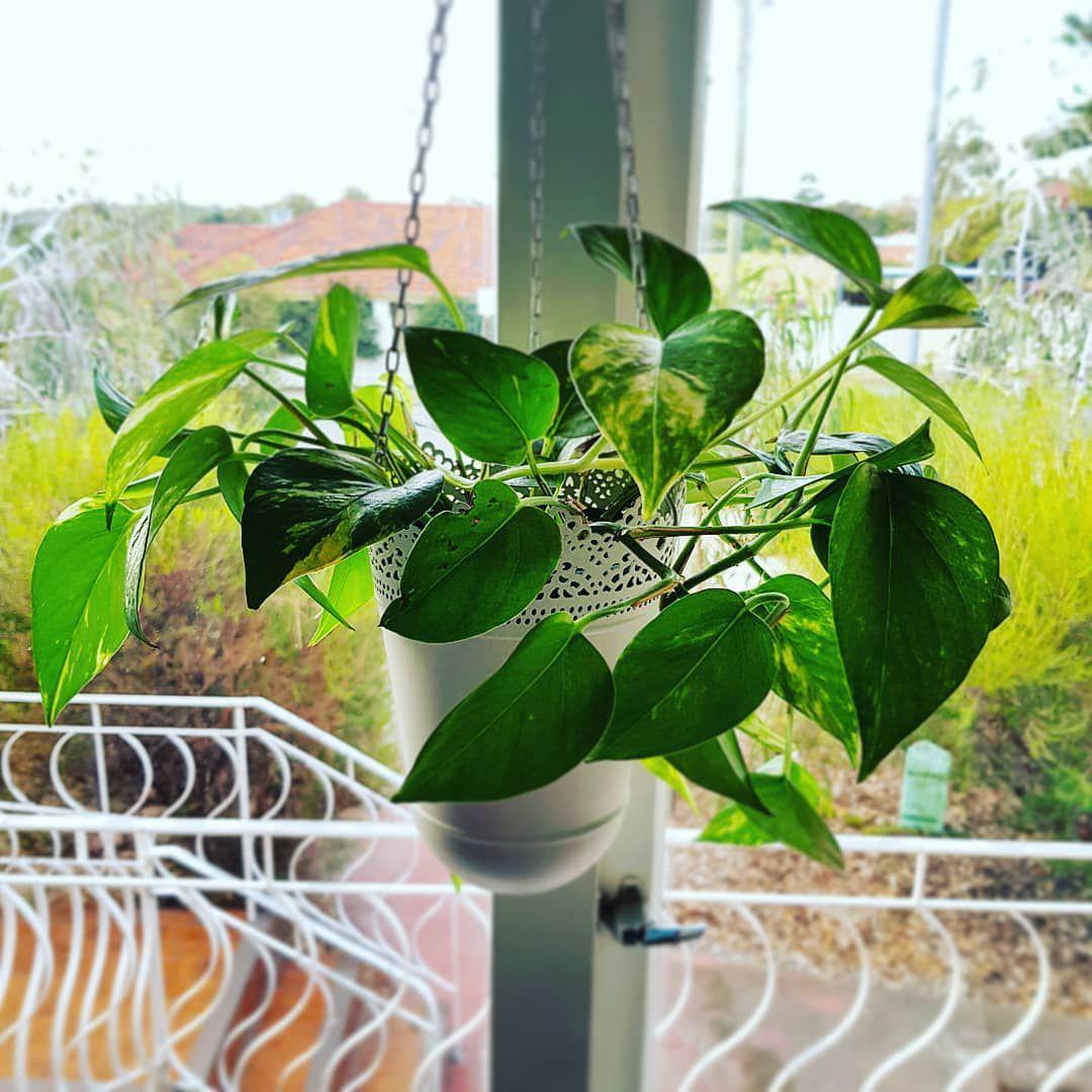 devil's ivy in a hanging planter
