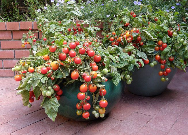 A container overflowing with tomatoes