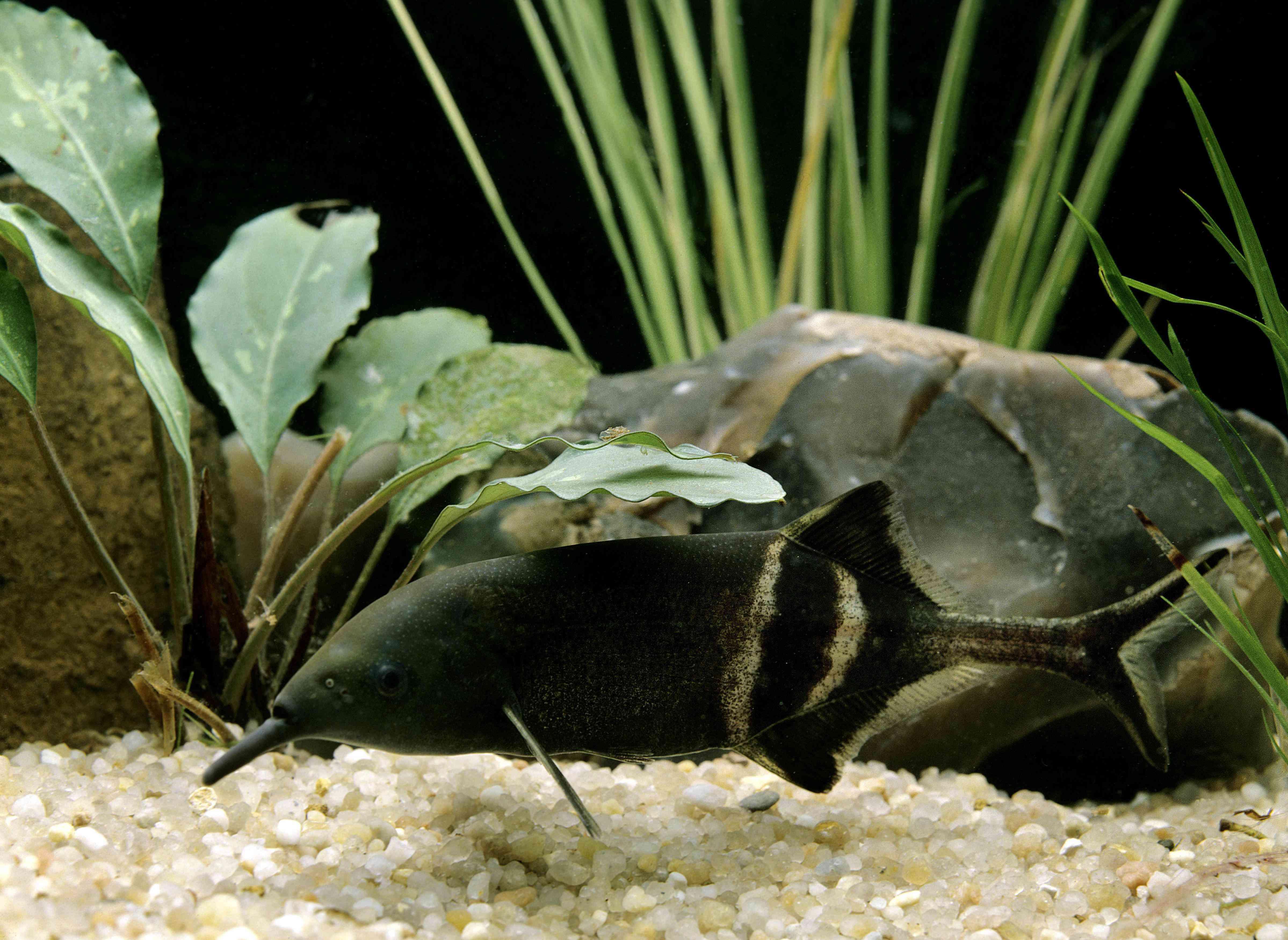 A black elephantnose fish underwater with green plants around him.