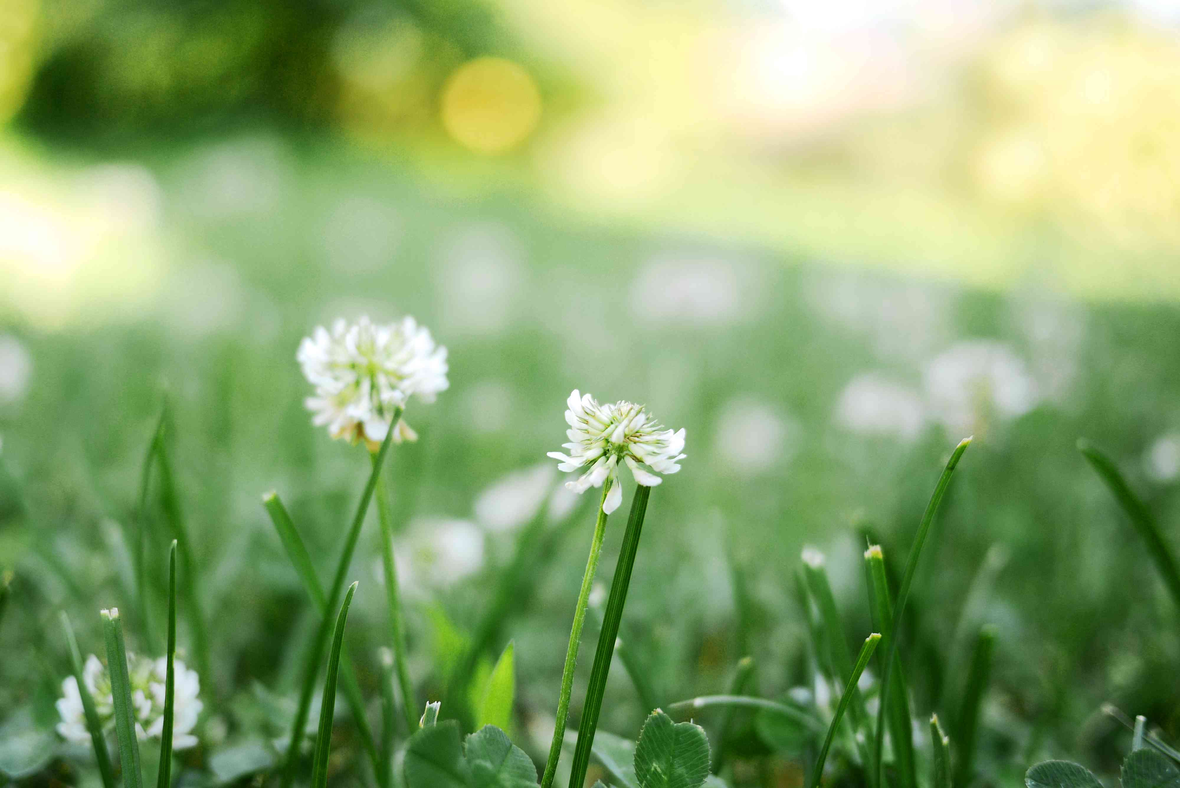 Meadow with white clover (Trifolium repens)