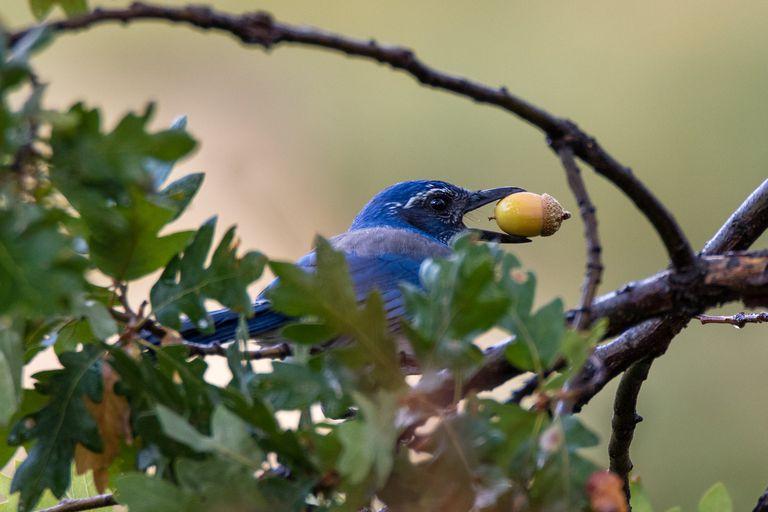 Scrub jay sitting in a tree holding an acorn in its beak