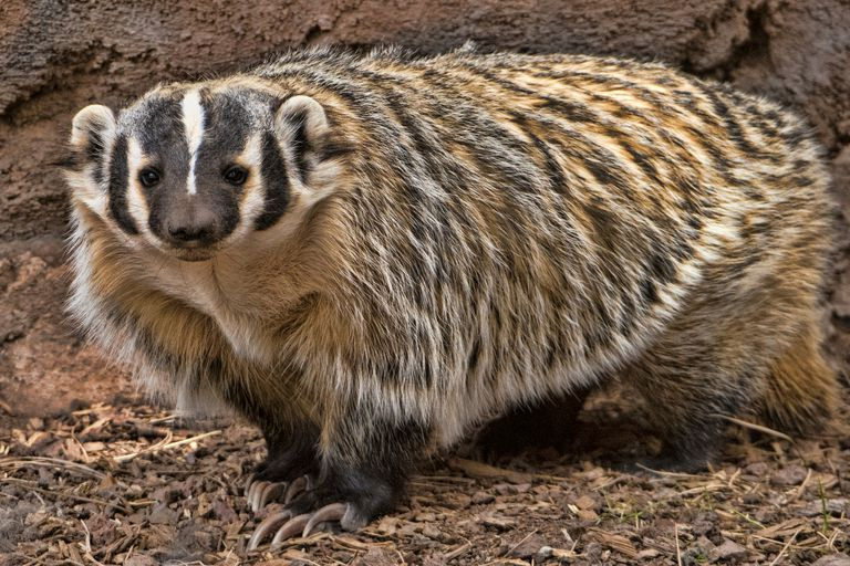 American badger with a striped face and long colorful fur on its body