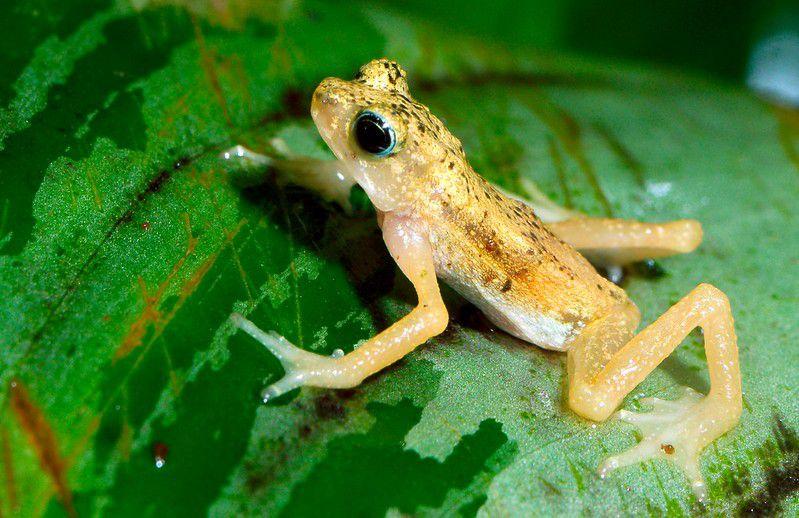 A Kihansi spray toad on a leaf.