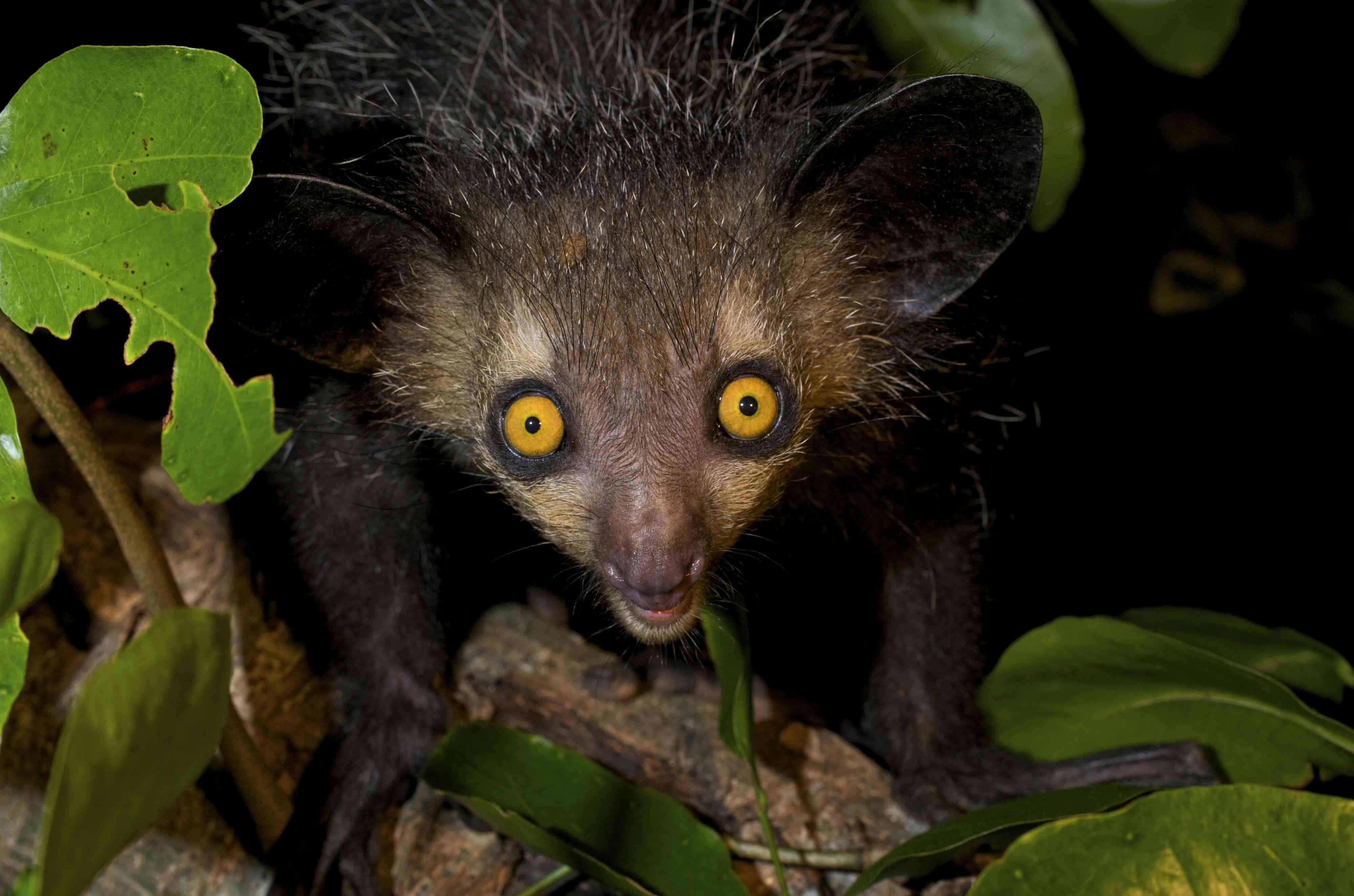 Aye-aye lemur with dark hair, big ears, big golden yellow eyes and pointy snout in tree