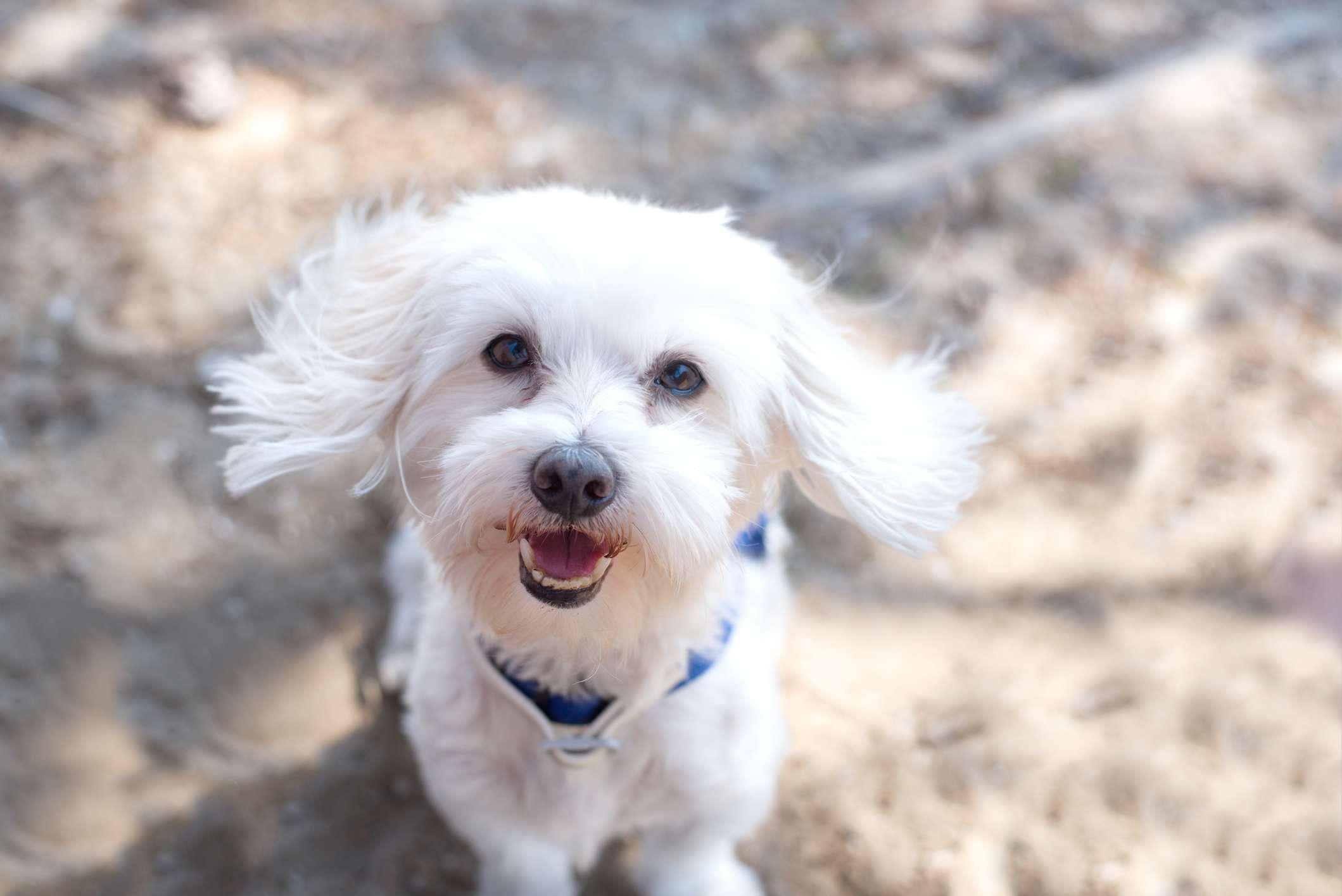 Maltese Dog on the beach.