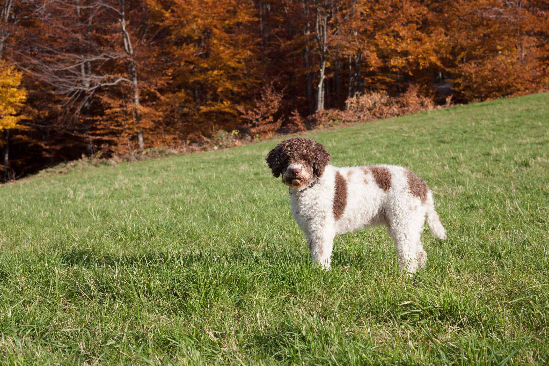 white lagotto romagnolo with brown markings stands on hill near woods in autumn
