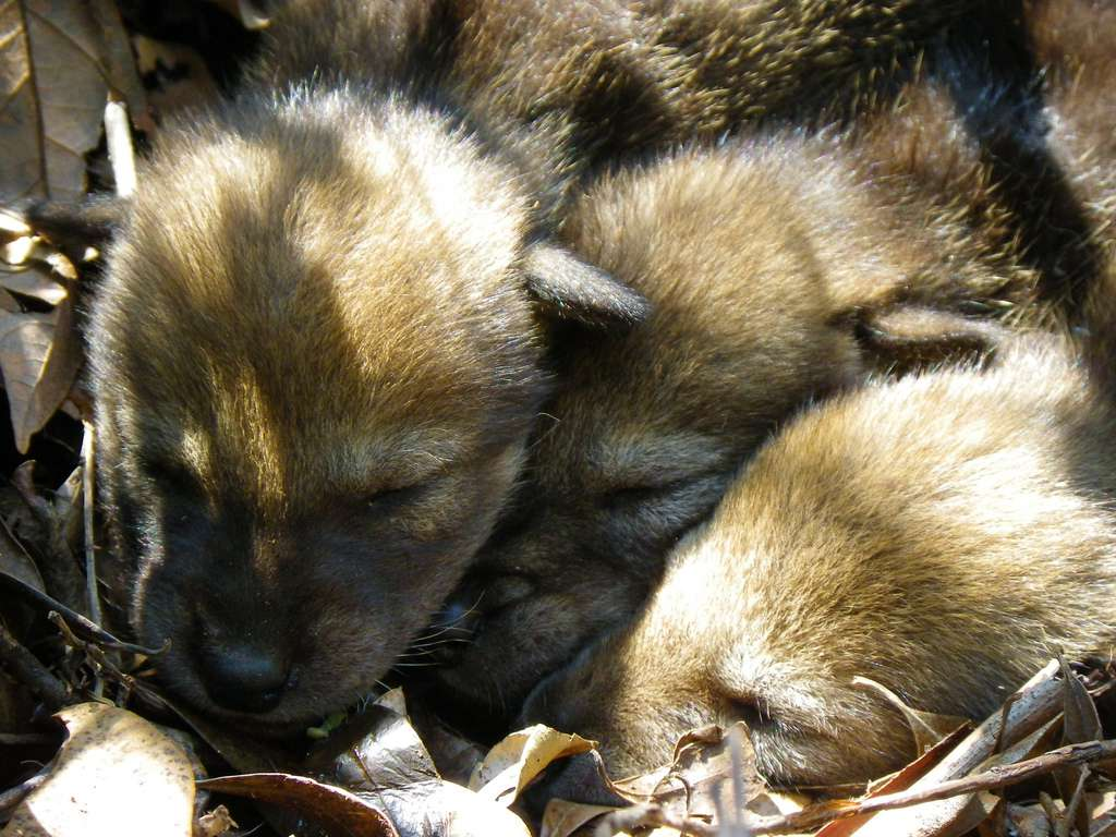 litter of red wolf pups or cubs