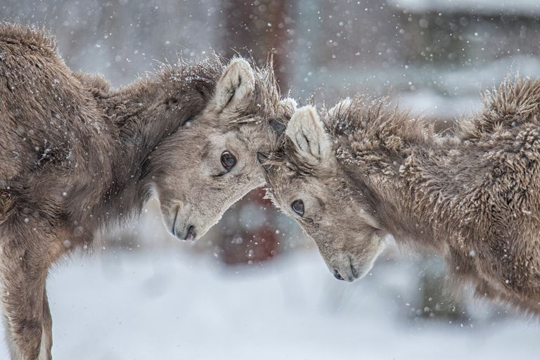 Two young bighorn sheep playing in the snow