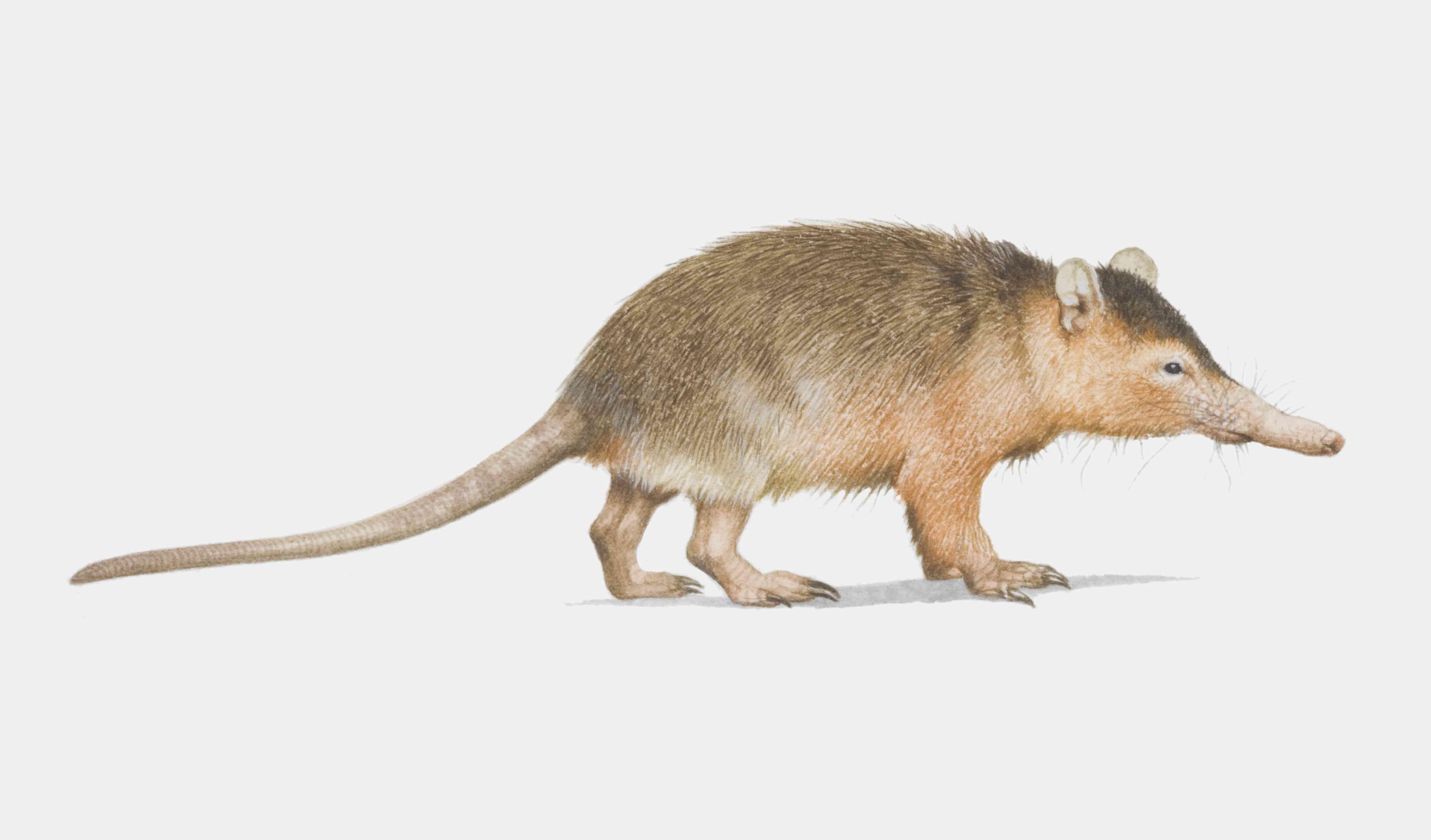 Illustration, Solenodon (Solenodon cubanus), side view.