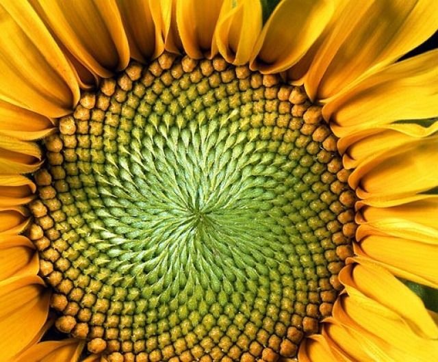 A sunflower at full bloom