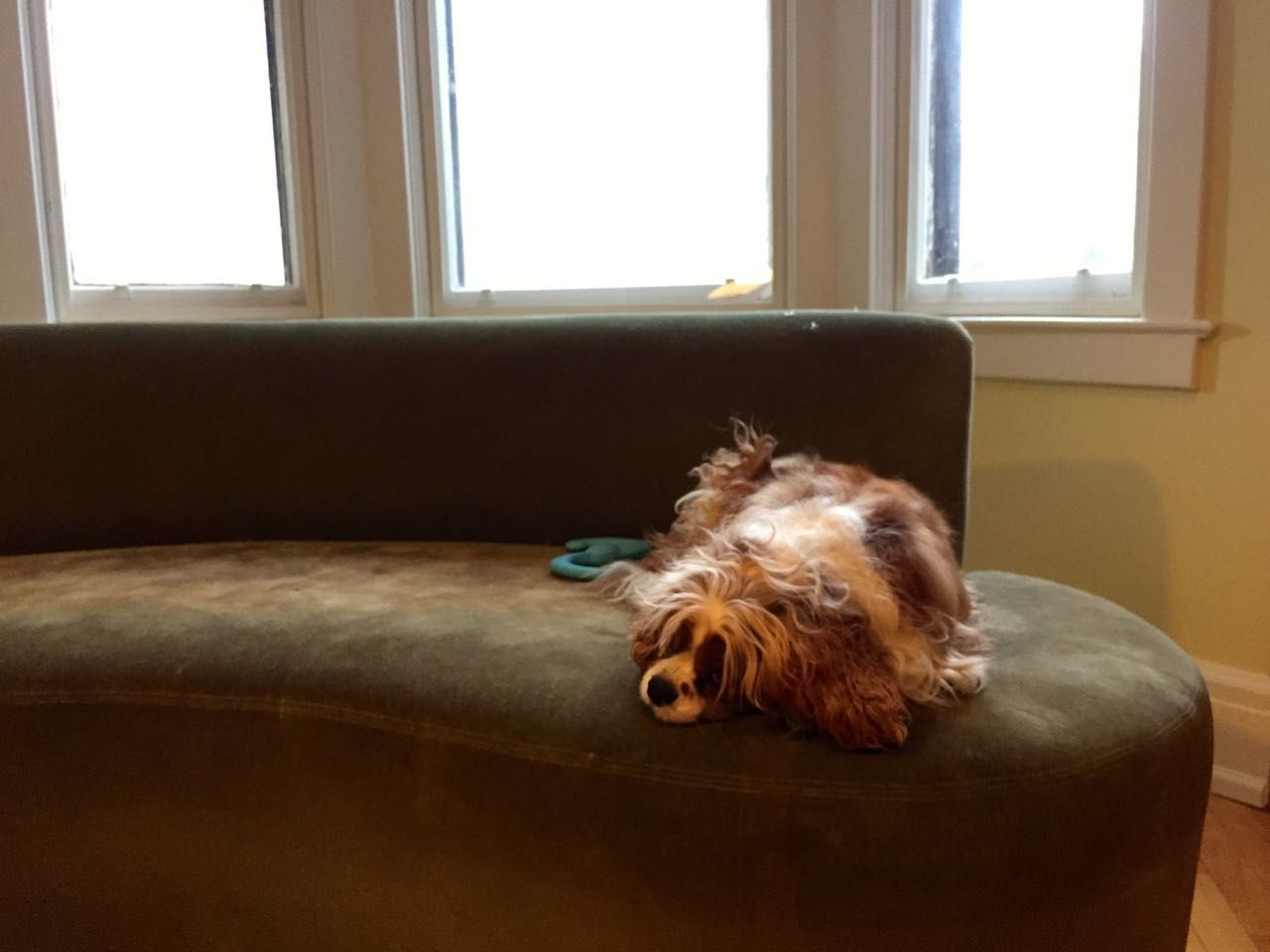 Fluffy dog sitting on a couch in front of three-paned window