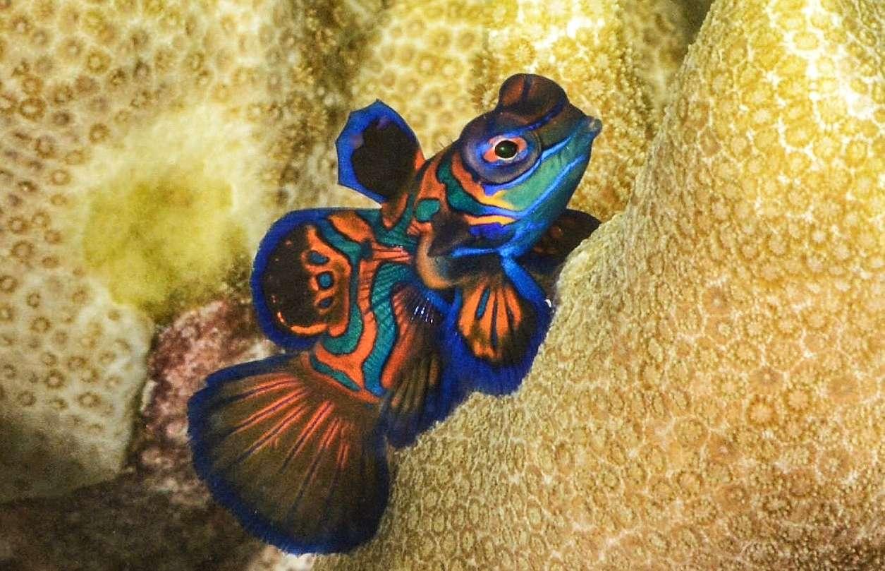 A blue, green, and orange mandarinfish swimming next to gold coral
