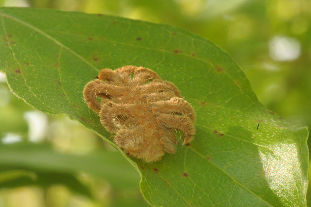A tan colored monkey slug (hag moth) caterpillar with spider-like legs on a green leaf